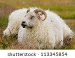 icelandic sheep | Shutterstock . vector #113345854