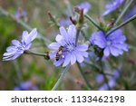 wild blue cornflower close up... | Shutterstock . vector #1133462198