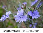 wild blue cornflower close up... | Shutterstock . vector #1133462204