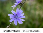 wild blue cornflower close up... | Shutterstock . vector #1133469038