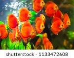 beautiful fish in an aquarium.   Shutterstock . vector #1133472608