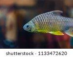 beautiful fish in an aquarium.   Shutterstock . vector #1133472620