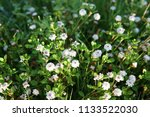 phyla nodiflora or cape weed ... | Shutterstock . vector #1133522030