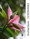 Pink Clematis Flowers In The...