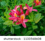 bright pink and yellow flowers... | Shutterstock . vector #1133568608