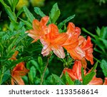 bright pink flowers of blooming ... | Shutterstock . vector #1133568614
