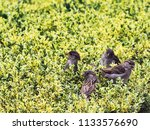 small passerine birds in the... | Shutterstock . vector #1133576690