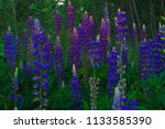 lupinus  commonly known as... | Shutterstock . vector #1133585390