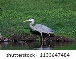 a great blue heron stalks the... | Shutterstock . vector #1133647484