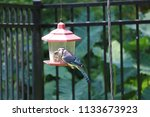 bluejay blue jay bird perched... | Shutterstock . vector #1133673923