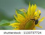 bumblebee on a sunflower...   Shutterstock . vector #1133737724