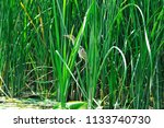 a small heron hides in the... | Shutterstock . vector #1133740730