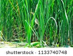 a small heron hides in the... | Shutterstock . vector #1133740748