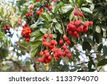 Lychee Fruits On Lychee's Tree...