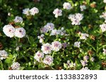 phyla nodiflora or cape weed ... | Shutterstock . vector #1133832893