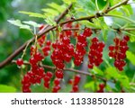 Ribes Red Berry Growing In A...