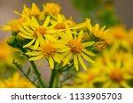golden ragwort flowers | Shutterstock . vector #1133905703