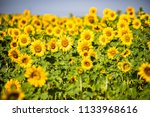 focus on a sunflowers field | Shutterstock . vector #1133968616