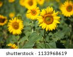 focus on sunflowers | Shutterstock . vector #1133968619