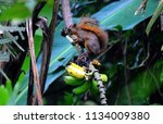 Small photo of The Panamanian forests are abundant in different types of fruits, here a samples of a squirrel eating bananas that grow wild