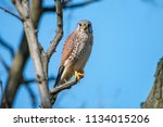 Common kestrel (Falco tinnunculus), male, perching on the branch on clear blue background. The wild bird of prey European kestrel or Eurasian kestrel sitting in full face against blue sky.