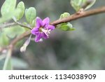 lilac chinese wolfberry or... | Shutterstock . vector #1134038909