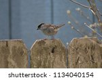 mountain finch on a fence   Shutterstock . vector #1134040154