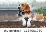 Stock photo beagle dog and brown cat lying together on the footpath outdoor in the park 1134061790