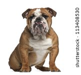 Stock photo english bulldog months old sitting against white background 113408530