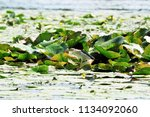 little heron searches for prey... | Shutterstock . vector #1134092060