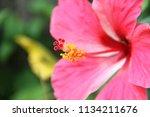 hibiscus rosa sinensis l. | Shutterstock . vector #1134211676