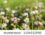 phyla nodiflora or cape weed ... | Shutterstock . vector #1134212930