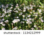 phyla nodiflora or cape weed ... | Shutterstock . vector #1134212999