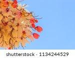 pink shower tree flowers ... | Shutterstock . vector #1134244529