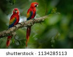 pair of red parrot scarlet... | Shutterstock . vector #1134285113