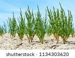 green samphire or salicornia... | Shutterstock . vector #1134303620