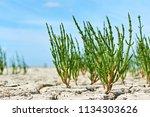 green samphire or salicornia...   Shutterstock . vector #1134303626