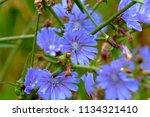 flowers of chicory  cich rium ... | Shutterstock . vector #1134321410