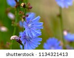 flowers of chicory  cich rium ... | Shutterstock . vector #1134321413