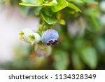 blueberry close up  | Shutterstock . vector #1134328349