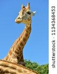 portrait of giraffe  giraffa... | Shutterstock . vector #1134368453