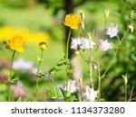 chinese globeflowers  trollius...   Shutterstock . vector #1134373280