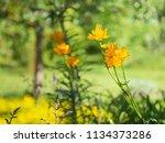 chinese globeflowers  trollius...   Shutterstock . vector #1134373286