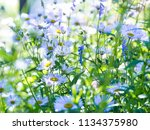 aspen fleabane  erigeron...   Shutterstock . vector #1134375980