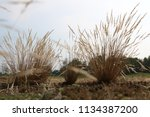 tufts of grasses with trees on... | Shutterstock . vector #1134387200
