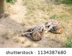 sleeping hyenas in the zoo  | Shutterstock . vector #1134387680