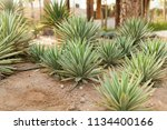 group of cactus bushes on the...   Shutterstock . vector #1134400166