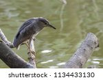 black crowned night heron ... | Shutterstock . vector #1134433130