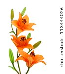 Three Orange Lillies On A Whit...