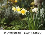 Daffodils. Yellow Narcissus